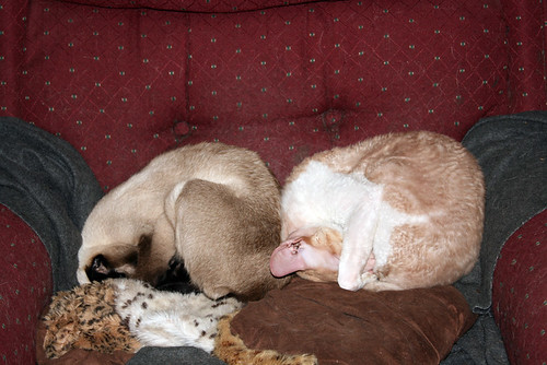 On the left, Aida (a seal-point Siamese) is curled into a ball but about three-quarters upright against the back of the recliner.  Next to her on the right, his head touching her butt, is Roo (an orange-and-white Cornish Rex) who is curled into exactly the same position.