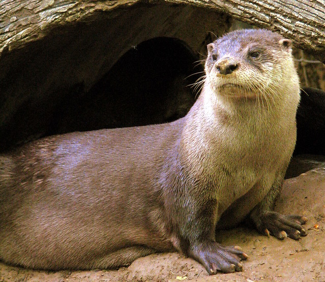 Otter, Knoxville zoo