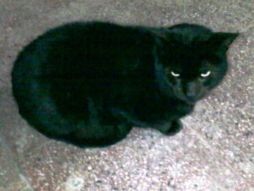 Chat موش هرٌّ