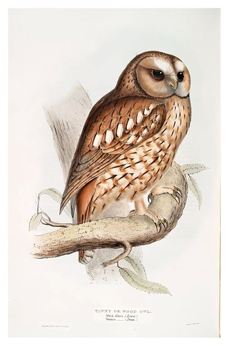 019-Buho de la madera- The birds of Europe Tomo I-1837- John Gould