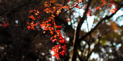 (Yun Creative Labs) Tags: kyoto japan temple golden pavilion yun canon eos 500d sigma 500mm f14 red leaf lieves