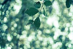 Il culto delle foglie ai giorni nostri - Leavescult today - by Who killed Gregory??