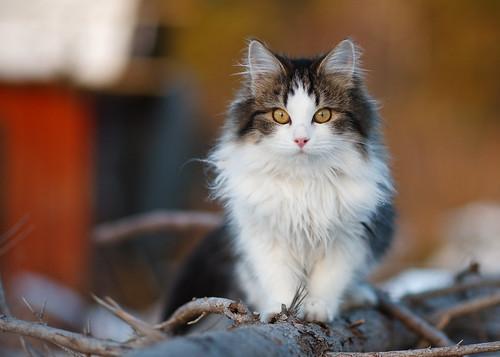 [フリー画像] 動物, 哺乳類, ネコ科, 猫・ネコ, 201101061100
