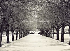 The quiet after the storm... (negra223) Tags: trees winter light blackandwhite bw snow newyork nature beautiful brooklyn arch shadows view time afterthestorm lol branches sunny row quite bbg firstsnow copyrights maples wandering lots brooklynbotanicalgardens 2010 anytime linedup oneofmyfavoriteplaces december30th allrightreserved negra223 negrasphotography