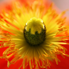 winter warmth.... (janoid) Tags: red orange flower color beautiful yellow center poppy lovely stigma filaments excellence anthers