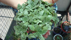 Crassula (Sylvie Piccolotto) Tags: planta crassulaceae crassula suculenta