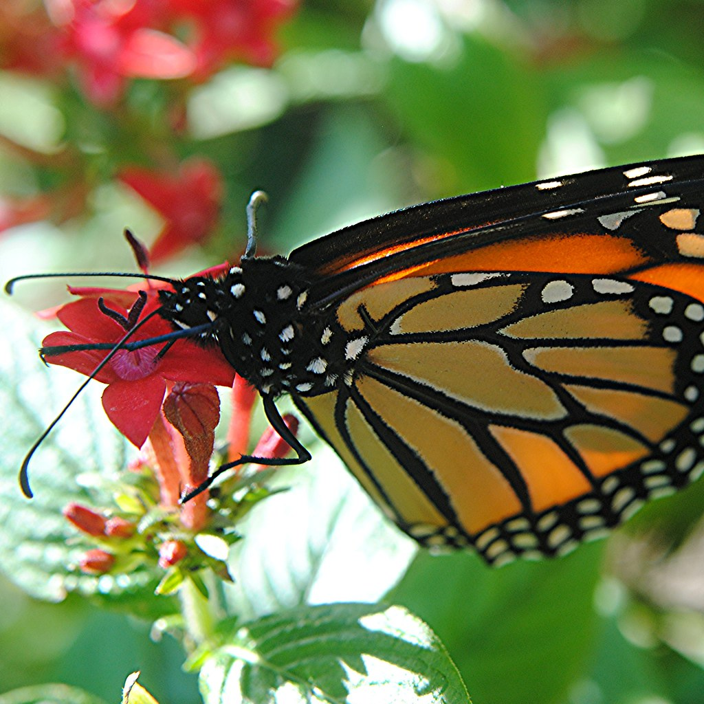 Black-and-white-bodied Monarch butterfly sips from rosy Penta flower
