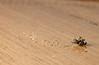 Ciclo da vida (igorschutz) Tags: macro animal flash mosquito inseto mosca larva morto varejeira strobist