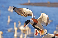 shelduck (Lolls Marshall) Tags: ducks mallard panning pintail shelduck martinmere whooperswan flyingducks
