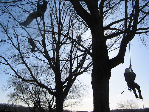 USDA Forest Service Smokejumpers are trained to climb trees in case they, or their supplies, land in them.  When Smokejumpers aren't fighting wildfires, the USDA Forest Service calls on them to use their tree climbing skills to complete a variety of natural resource management projects, such as harvesting pine cones and constructing owl nesting boxes.