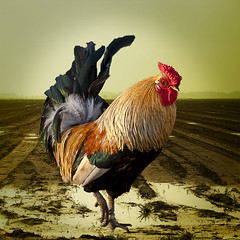 Wake Up (Pieter Musterd) Tags: animal photoshop canon eos gallo raw experiment 5d rooster huisdier dier gallus haan coq trots hahn cs4 fier noordpolderzijl cocq binckhorst haantjedevoorste canoneos5dmarkii pietermusterd colorefexpro30 photoshopcs4 5dmarkii