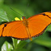 Orange Julia Longwing