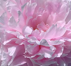 - Pink peony (Elena UA) Tags: world life camera pink flowers summer plants plant flower macro beauty living petals flora soft olympus planet core peonies