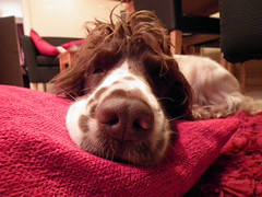 Dog Snout (chriscoombes) Tags: sleeping dog pet white cute kitchen mouth hair puppy nose eyes chair relaxing ears pillow spots spaniel springer resting cocker pup cushion doggie snout