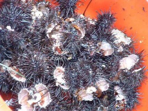 Busan: Sea Urchins