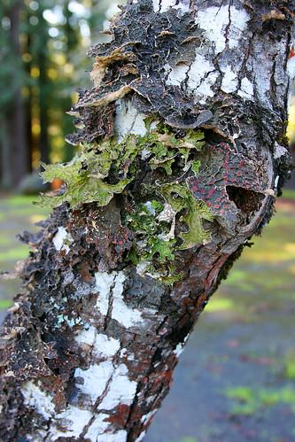 garberville_lichen-12