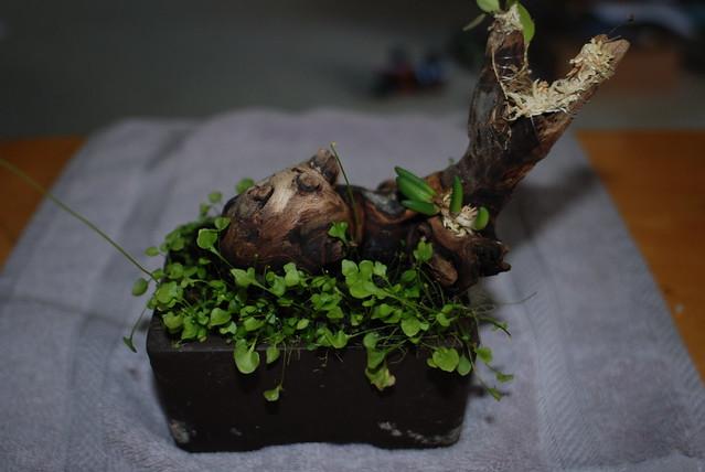 Utricularia nephrophylla