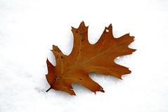 One (Grant is a Grant) Tags: autumn winter snow canada fall nova leaf oneleaf oak nikon snowy january s scotia wintertime annapolisvalley d90