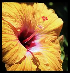No title (B.M.K. Photography) Tags: flower hibiscus orange closeup macro australian plants