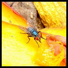 mosca-varejeira (Lus Andr Pacheco) Tags: mosca varejeira