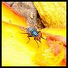 mosca-varejeira (Luís André Pacheco) Tags: mosca varejeira