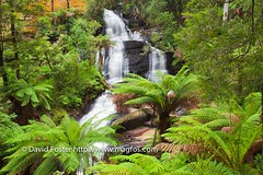 Triplet Falls, Great Otway National Park (David Foster Photos) Tags: park trees wild summer orange cliff mountain mountains tree green fall nature wet water beautiful beauty rain horizontal creek forest river outdoors countryside waterfall bush rainforest natural outdoor vibrant country australian victorian parks reserve conservation australia victoria falls cliffs rockface national ranges waterfalls rivers myrtle flowing wilderness lush shrub greatoceanroad range bushes shrubs forests reserves creeks treefern mountainash bushy rainforests treeferns youngscreek shrubby tripletfalls greatotwaynationalpark