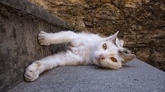 DSC08792 (eliazar.dominantez) Tags: animal cat genoa genova genua italia italy liguria ligury pussy zena