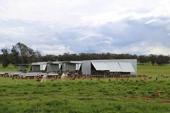 Free range chickens Yandoit Victoria Australia_8483 (gervo1865_2 - LJ Gervasoni) Tags: free range chickens yandoit victoria australia farming agriculture eggs food production maremma alpaca