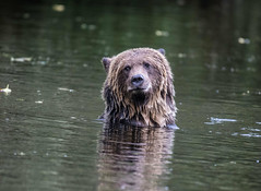 long day, not much to smile about !!! (wesleybarr1962) Tags: grizzly grizzlybear grizzlybearswimming