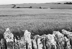dry stone wall (a.pierre4840) Tags: olympus om4ti zuiko 50mm f14 landscape wall stone bw blackandwhite monochrome noiretblanc ilford ilfordhp5 hp5 dorset england paysage countryside