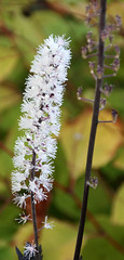 5-IMG_6029 (hemingwayfoto) Tags: berggartenhannover blhen blte blume cimicifungaramosa garten natur park pflanze silberkerze
