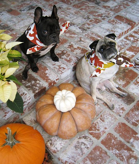 pug and french bulldog on thanksgiving