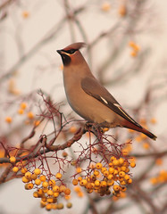 Waxwing (alison brown 35) Tags: uk november autumn sunset wild bird nature yellow berries wildlife ngc 300mm bolton rowan waxwing horwich 2010 bombycillagarrulus 14x amazingwildlifephotography