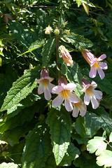 Rehmannia sp. or hybrid  101107-0279