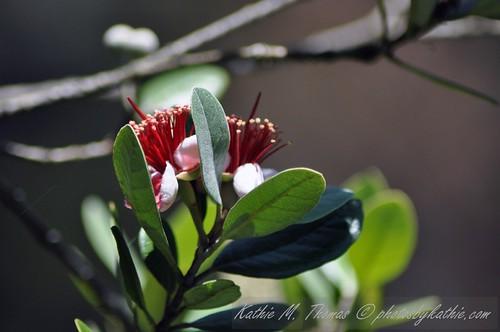 Fujoa flower