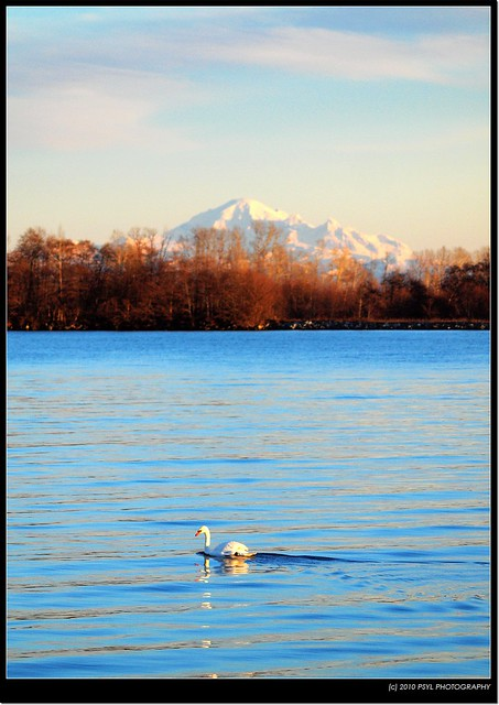 Mute Swan and Mt. Baker
