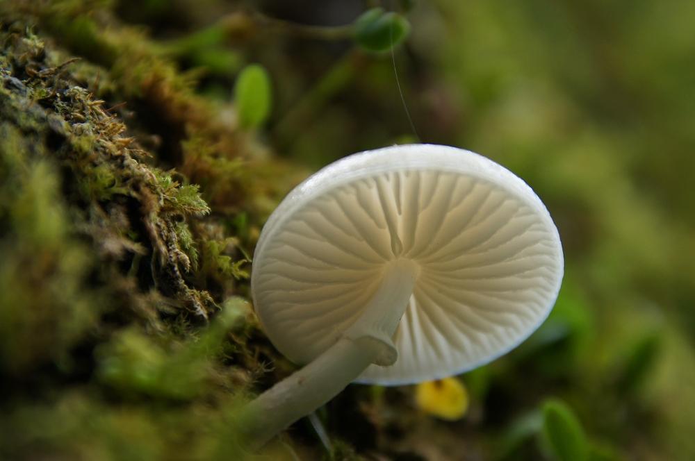 鵝公髻09-白蘑菇