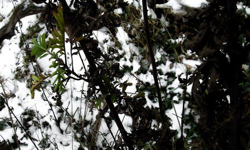 winter tansy 1