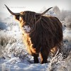 I Will Give You a Wave When I Get To The Bridge! (Samantha Nicol Art Photography) Tags: trees winter portrait hairy snow animal square scotland cow bokeh freezing horns highland samantha toffee coo nicol