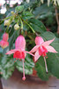 Fuchsia 'Eleanor Laytham' (pennyeast) Tags: flower garden botanical fuchsia capetown onagraceae pae papaalphaecho