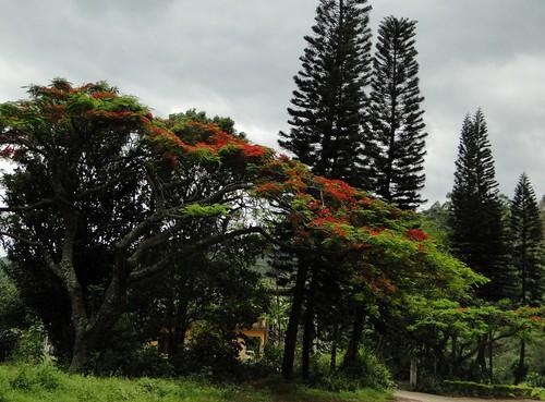 Flamboyant em flor