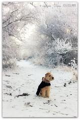 Sophie in a snowy lane (zweiblumen) Tags: uk winter england dog pet shropshire hoarfrost sophie wheatenterrier picnik ndfilter tamron28300mm canoneos50d zweiblumen churchaston canon430exii