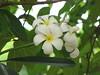 Araliya ([AU]) Tags: white flower bunch araliya