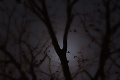 Sonata (David.Keith) Tags: moon tree silhouette backlight photoshop eclipse moonlight backlit adjust cs4 topas
