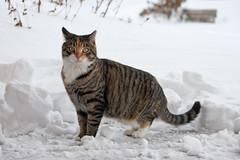 I Don't Do Snow! (Bill McBride Photography) Tags: rescue snow ny newyork cat canon eos rebel li feline december longisland stray blizzard 2010 xsi 450d 55250 canon450d efs55250 canonxsi