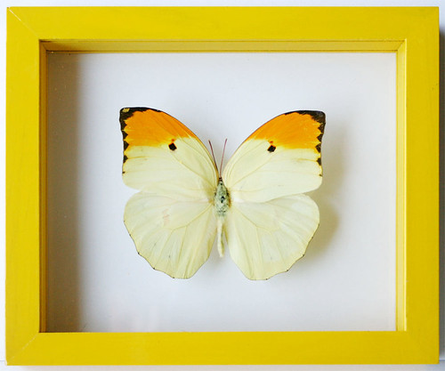 anteos menippe sunny butterfly gift in yellow frame