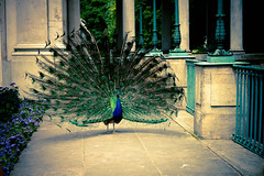 Peacock at the Royal Castle in Warsaw (Lazienki Park)