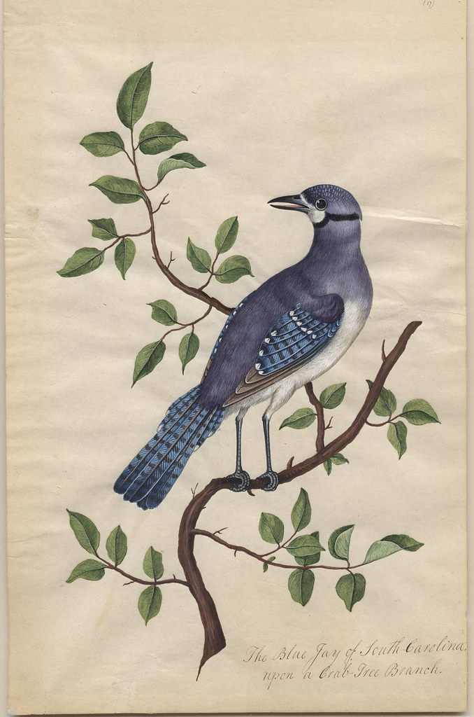 Blue Jay, Crab Tree