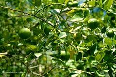 Afgoi, Somalia (aikassim) Tags: farm citrus agriculture limes somalia hornofafrica eastafrica  afgooye  afgoi shebeelahahoose