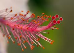Hibiscus macro [Explored] [Olympus E520][Olympus Zuiko 70 300] (Mayur Kotlikar) Tags: macro interesting scout olympus explore hibiscus 300 70 zuiko pench explored e520olympus